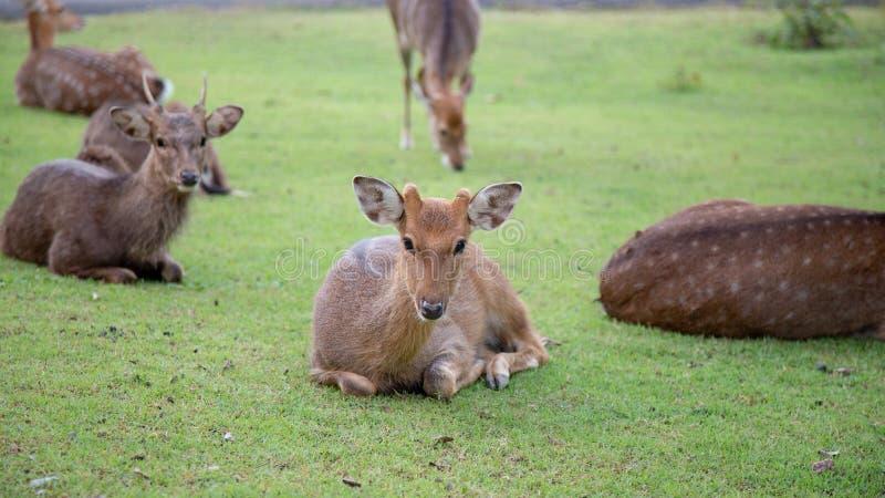 Bruine herten die op weide in de open dierentuinsafari lopen in Thailand stock foto's