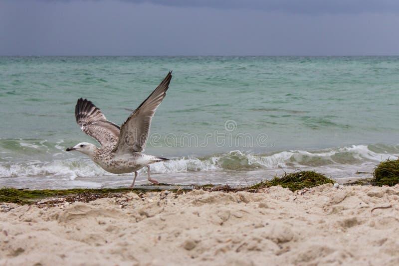 Bruine het lopen zeemeeuw op zijn beginvlucht tegen onweer op overzees Wild vogelsconcept Zeemeeuw op zandstrand in orkaandag royalty-vrije stock afbeelding