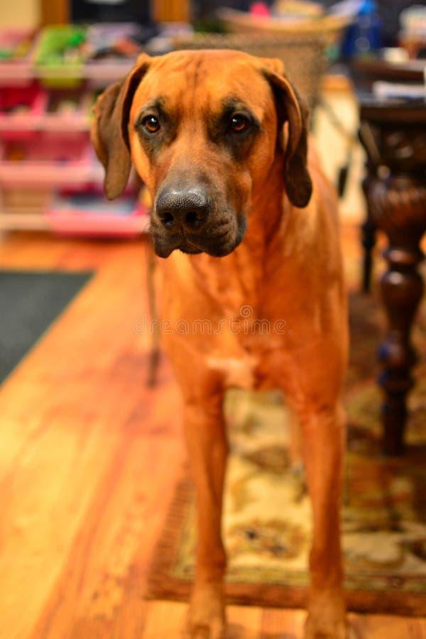 Bruine het puppyhond van Rhodesian Ridgeback stock foto