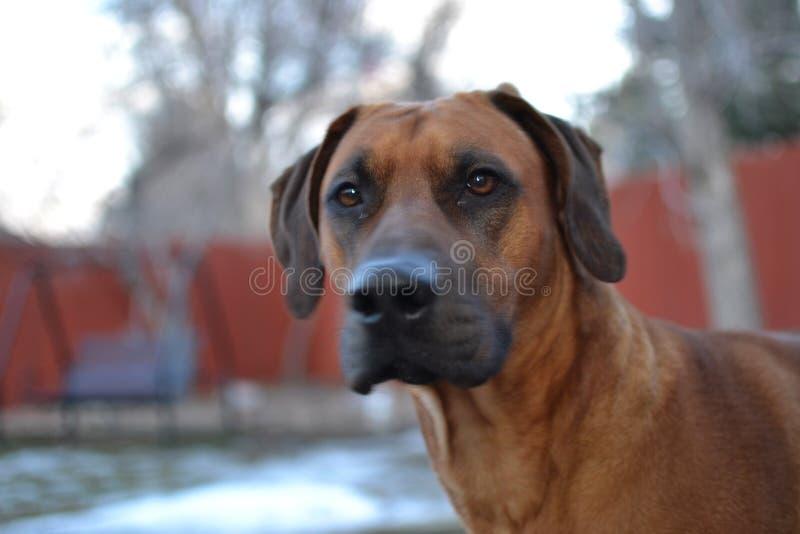 Bruine het puppyhond van Rhodesian Ridgeback royalty-vrije stock afbeeldingen
