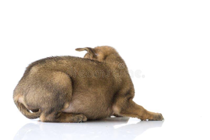 Download Bruine Hond Op Een Witte Achtergrond Stock Afbeelding - Afbeelding bestaande uit baby, aanbiddelijk: 107706389