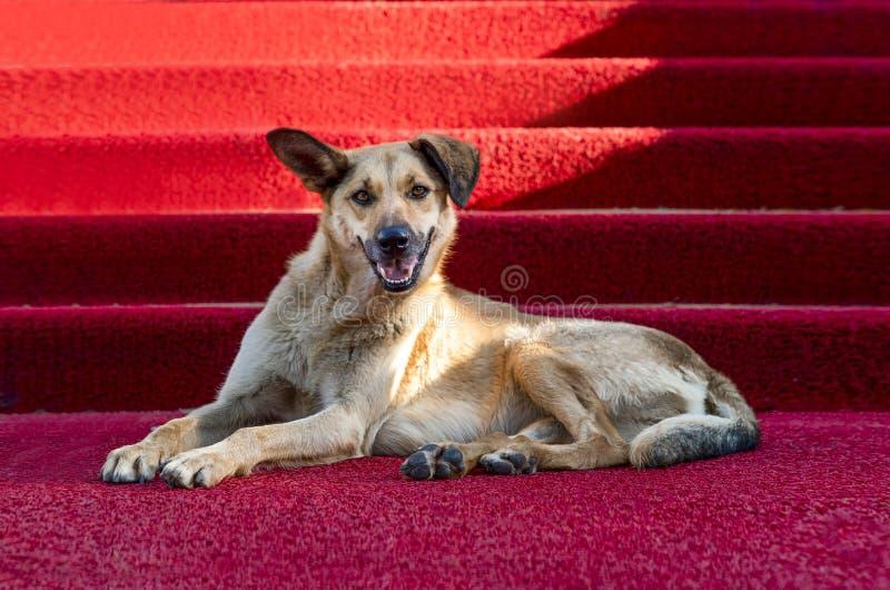 Bruine hond op het rode tapijt Concept beroemde honden royalty-vrije stock foto's
