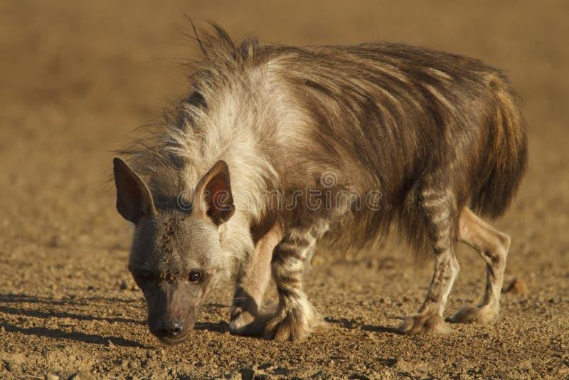 Bruine Hyena royalty-vrije stock fotografie
