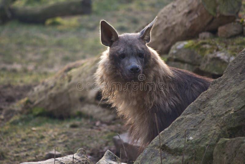 Bruine hyena stock afbeelding