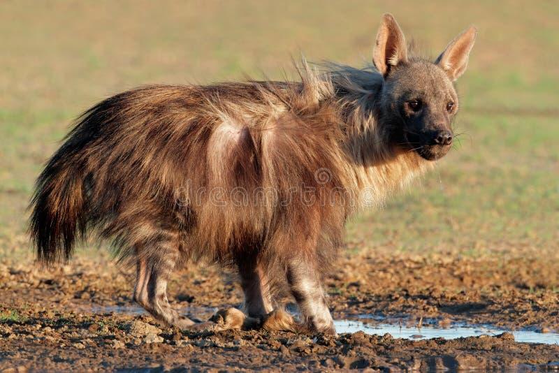 Bruine hyena royalty-vrije stock afbeelding