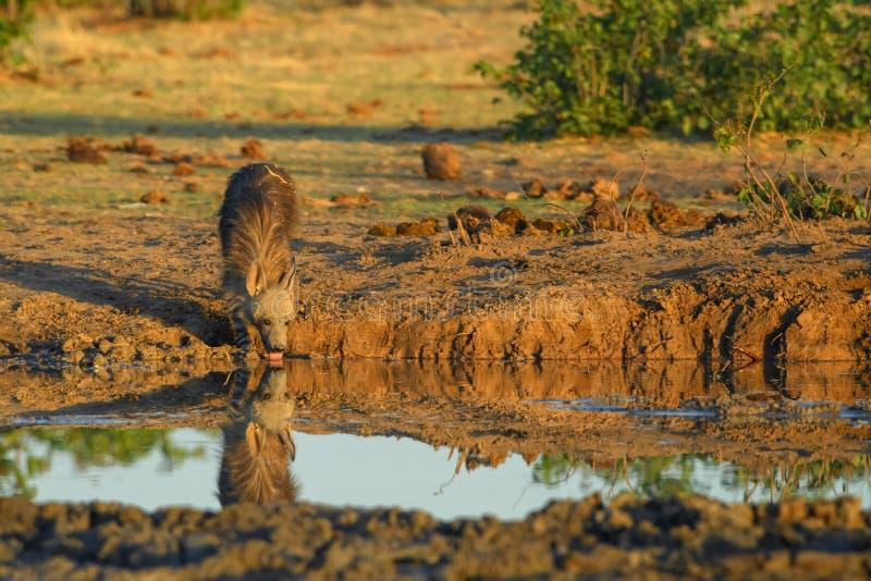 Bruine Hyena - Hyaena-brunnea royalty-vrije stock afbeeldingen