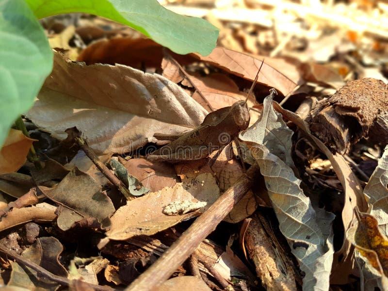 Bruine insectenmilitair in de aard royalty-vrije stock afbeelding