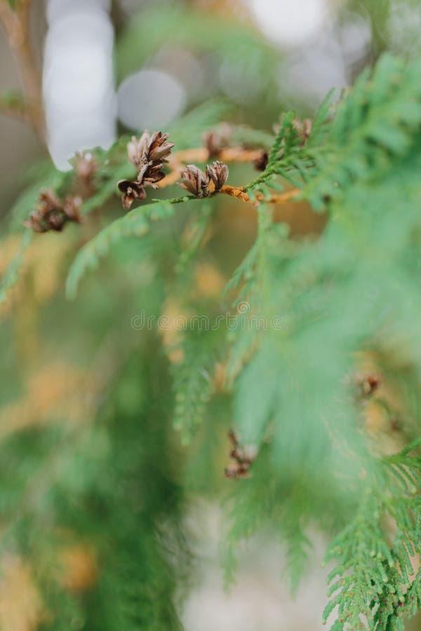 Bruine Kegels op Tak van Cedar Tree stock afbeeldingen