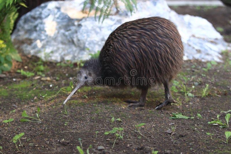 Bruine kiwi royalty-vrije stock foto