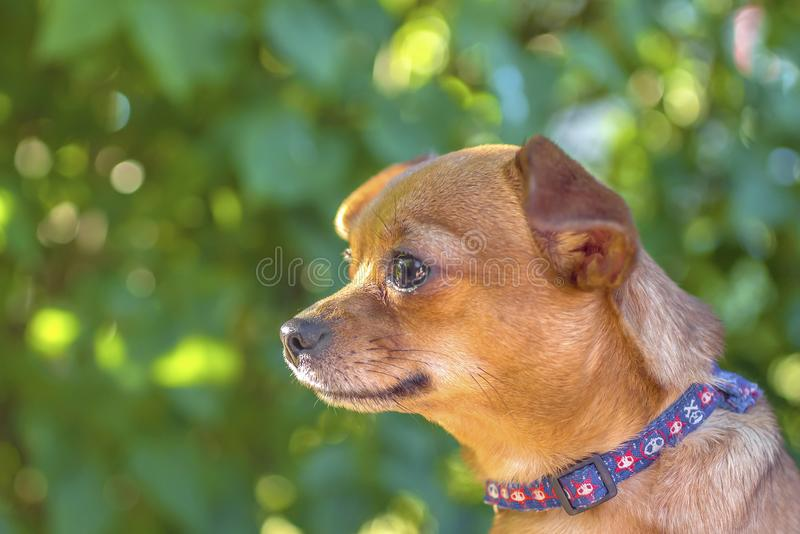 Bruine kleine hond in aard stock afbeelding