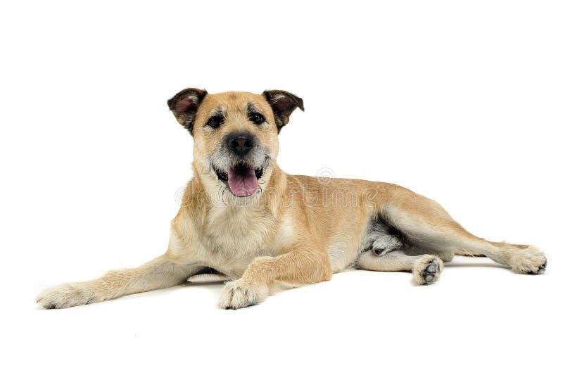Bruine kleur getelegrafeerde haar gemengde rassenhond in een witte studio royalty-vrije stock foto's