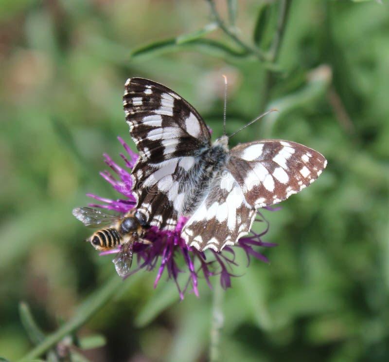 Bruine knoopkruid en vlinder royalty-vrije stock fotografie