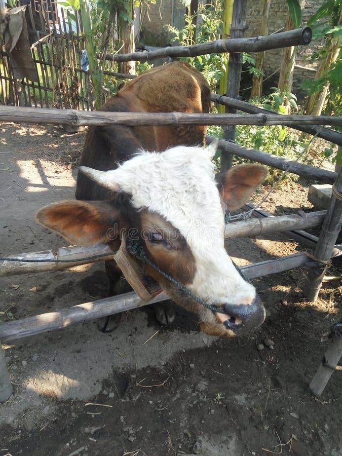 bruine koe royalty-vrije stock foto's