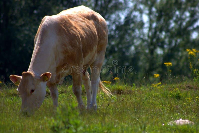 bruine koe royalty-vrije stock foto