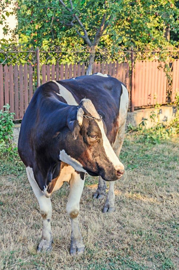 Bruine koe met witte vlekken, platteland, openlucht royalty-vrije stock afbeeldingen