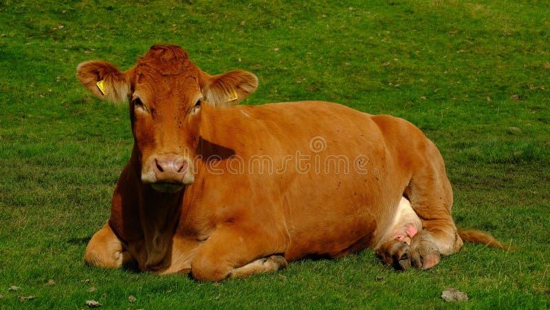 Bruine koe op gebied stock afbeelding