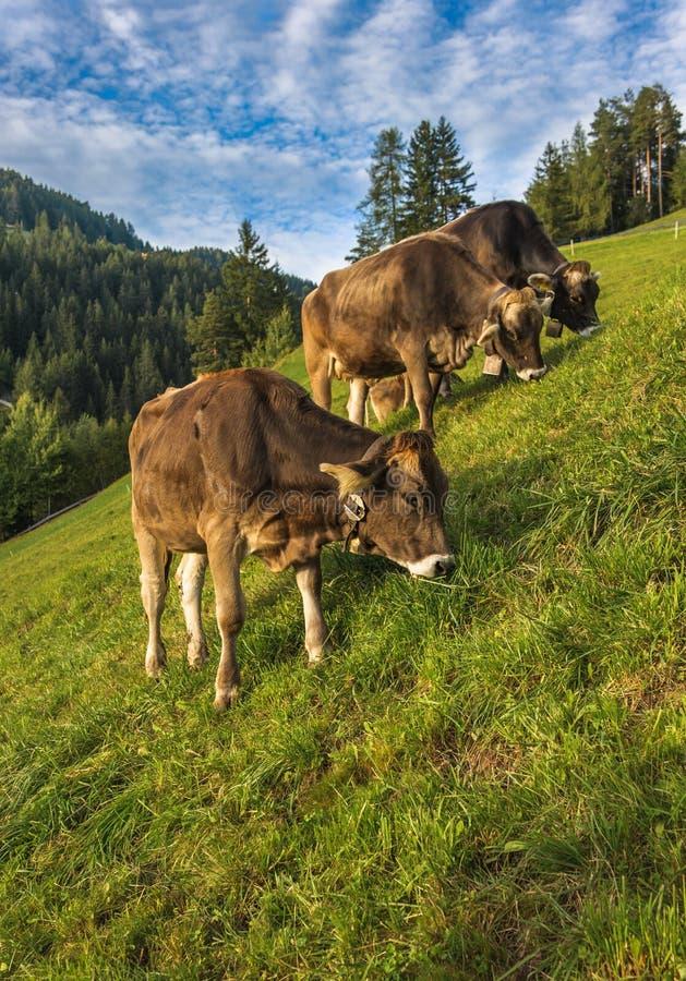 Bruine koeien in een Alpiene weide stock foto