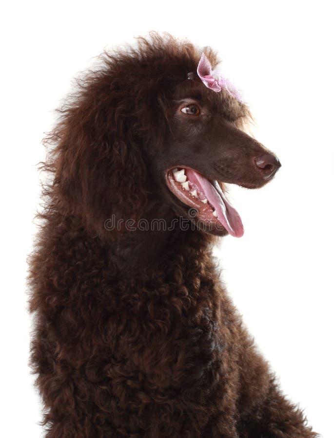 Bruine koninklijke poedel stock foto
