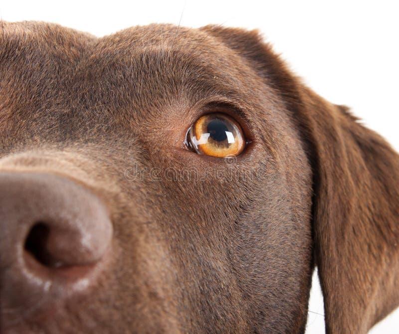Bruine Labrador close-up stock fotografie