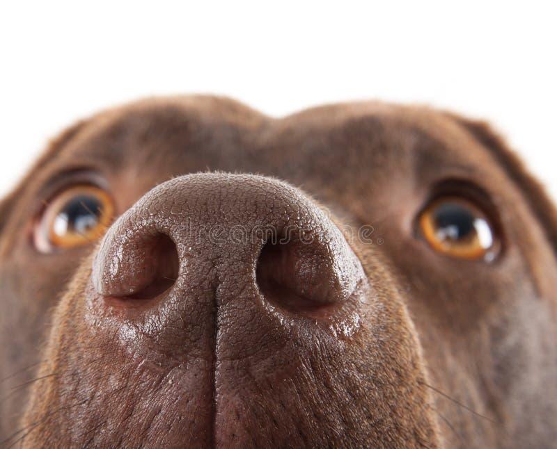 Bruine Labrador neusclose-up stock afbeeldingen