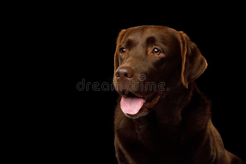 Bruine Labradorhond voor zwarte achtergrond royalty-vrije stock foto's