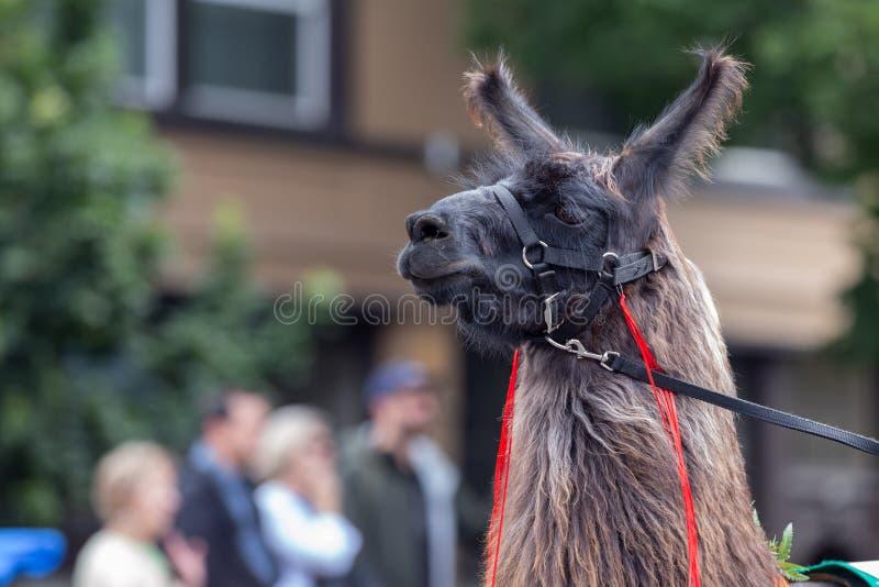 Bruine lama op de straat stock fotografie