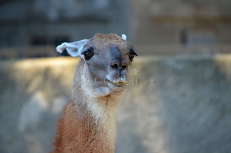 Bruine lama portret royalty-vrije stock foto's