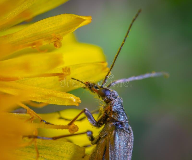 Bruine, langkorrelig insect op gele, petroleumventiel stock afbeeldingen