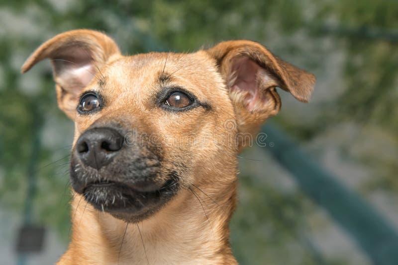 Bruine leuke die puppyhond op witte, groene achtergrond wordt geïsoleerd - red huisdierenhond met aanbiddelijke ogen royalty-vrije stock afbeeldingen