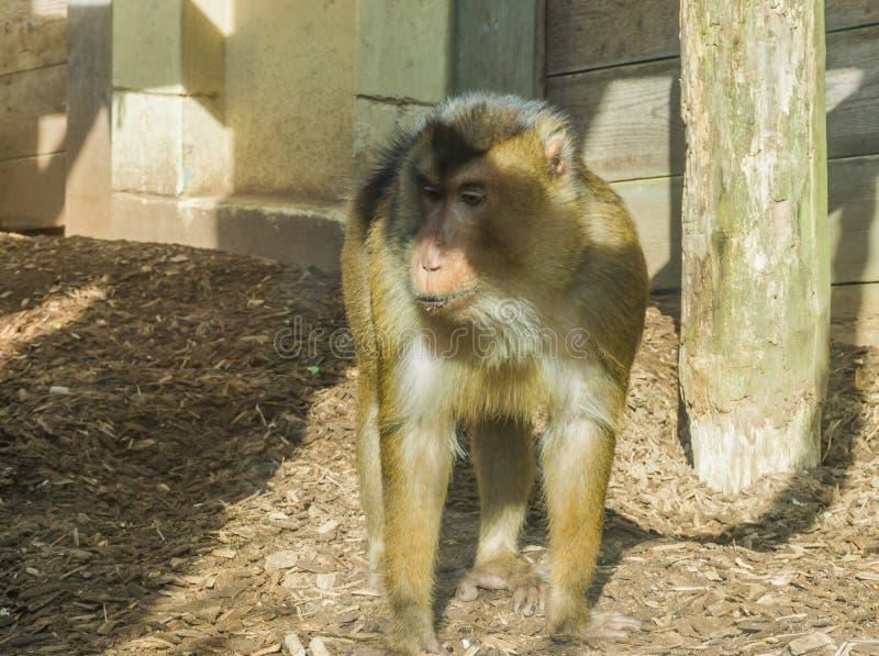 Bruine macaqueaap die zich naast een houten pool bevinden die bored en een dierlijk portret van de beetje droevig primaat kijken stock foto's