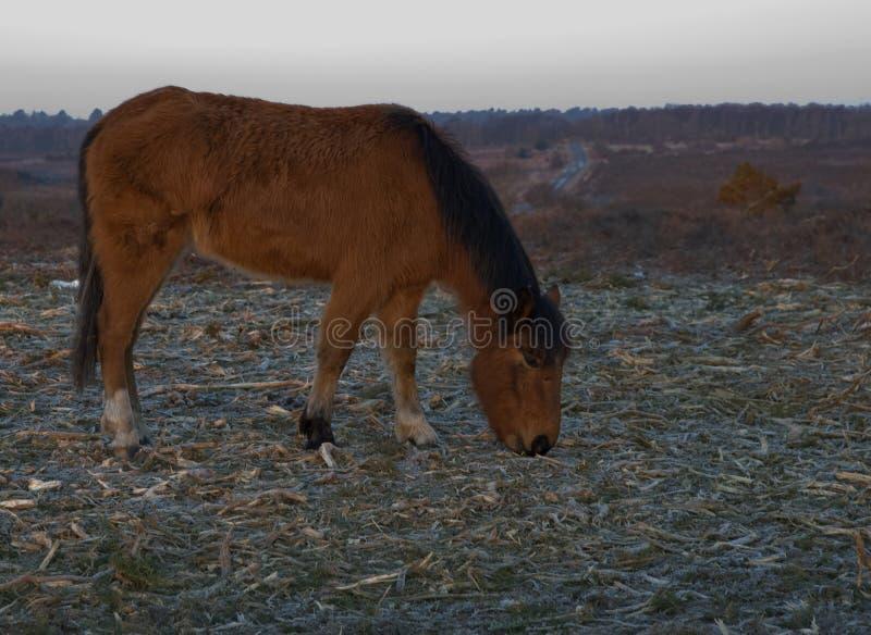 Bruine Nieuwe Bosponey vroege ochtend stock afbeeldingen