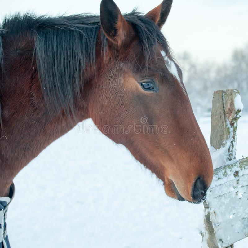 Bruine Paard witte bleekheid in de winter royalty-vrije stock afbeelding