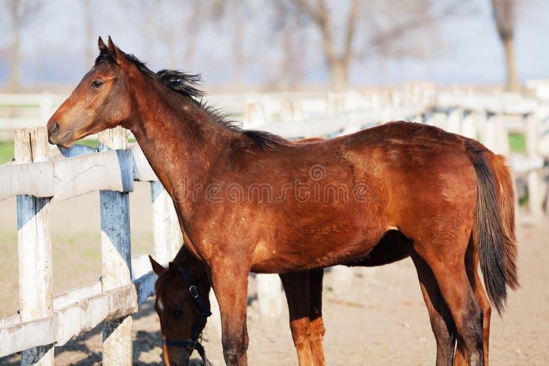 Bruine paarden bij de boerderij stock foto's