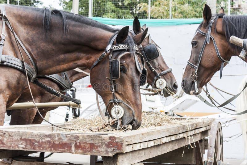 Bruine paarden die hooi eten stock foto's