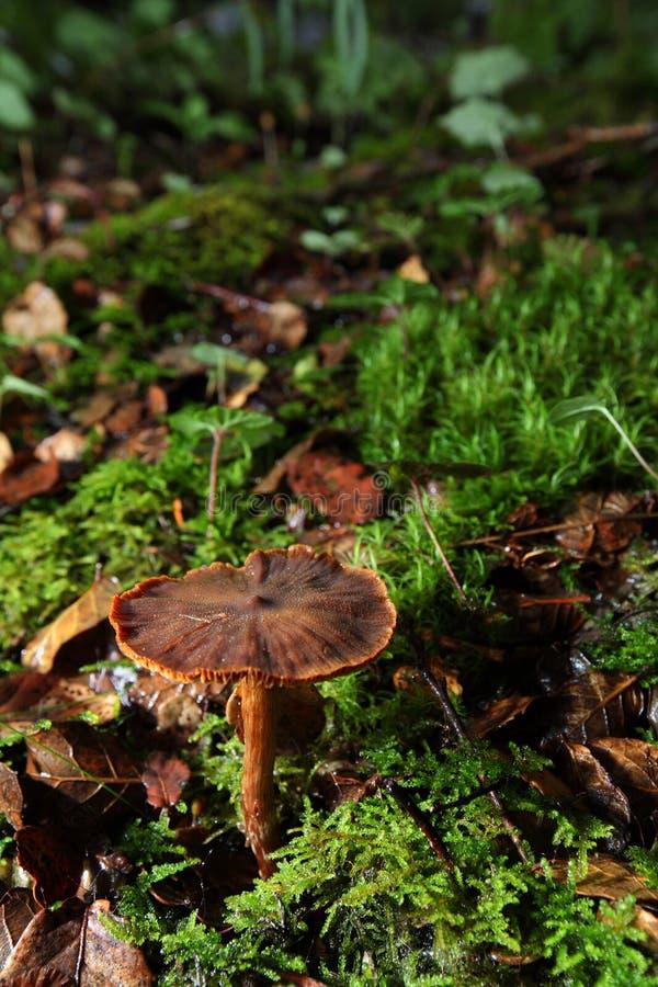 Bruine paddestoel stock afbeeldingen