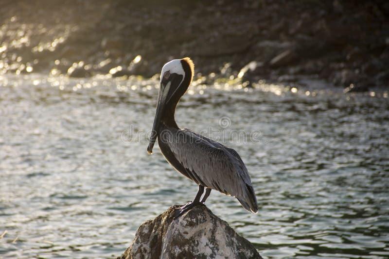 Bruine pelikaan royalty-vrije stock afbeelding