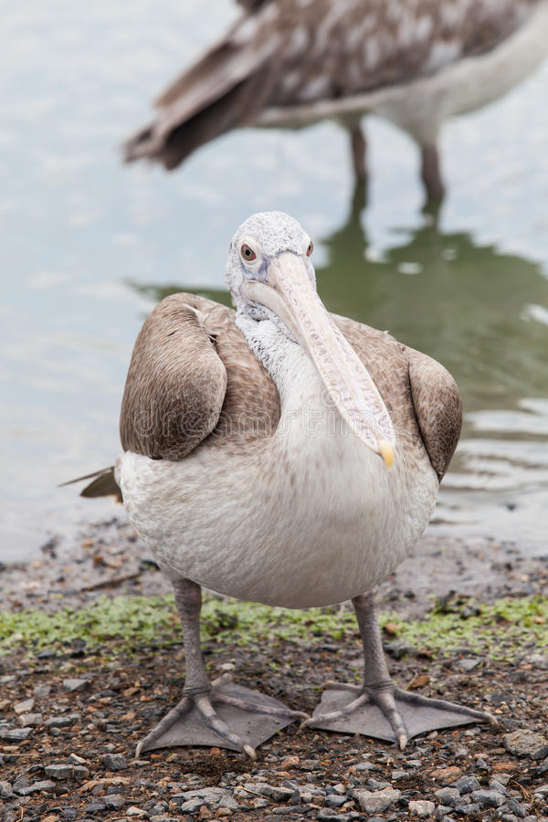 Bruine pelikaan stock foto's