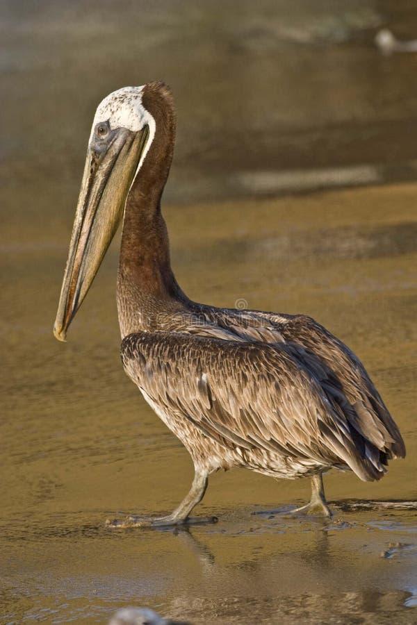 Bruine pelikaan stock fotografie