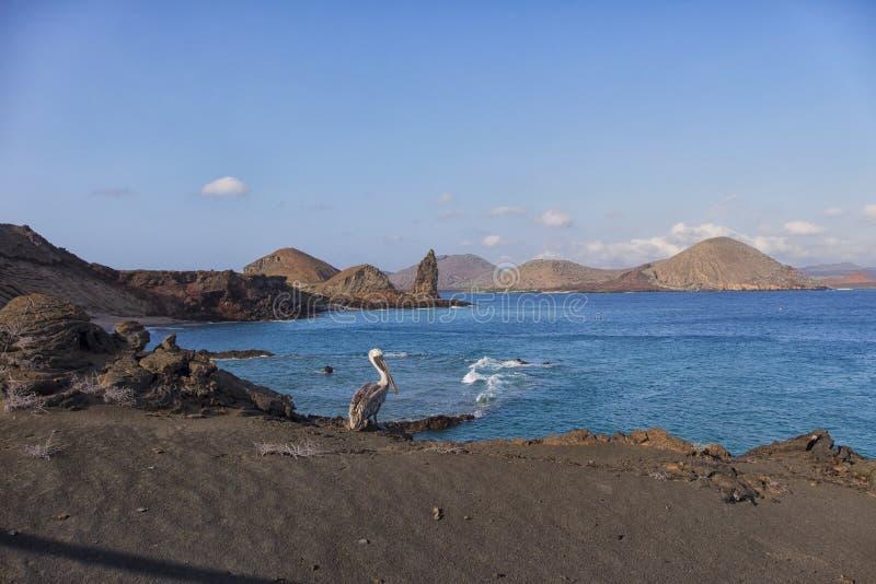 Bruine pelikaan in de Eilanden van de Galapagos stock foto's