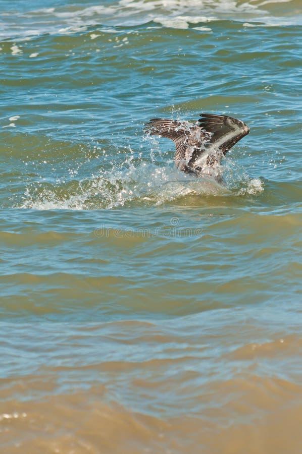 Bruine pelikaan die in tropisch water duiken, stock afbeeldingen