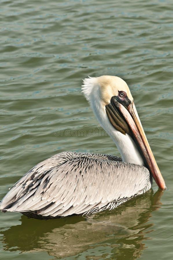 Bruine pelikaan die in tropische wateren zwemmen royalty-vrije stock afbeeldingen