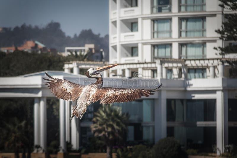 Bruine Pelikaan die - Vina del Mar, Chili vliegen royalty-vrije stock afbeelding
