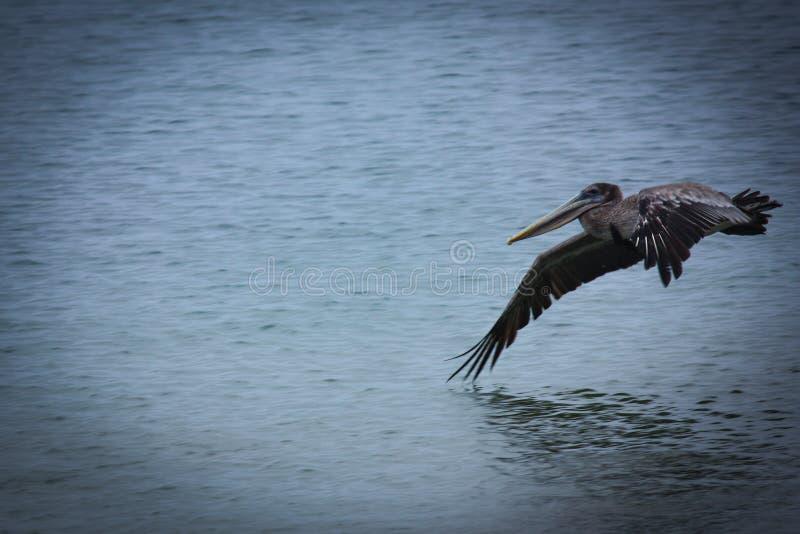 Bruine Pelikaan die vlucht over oceaan met exemplaarruimte nemen stock foto's