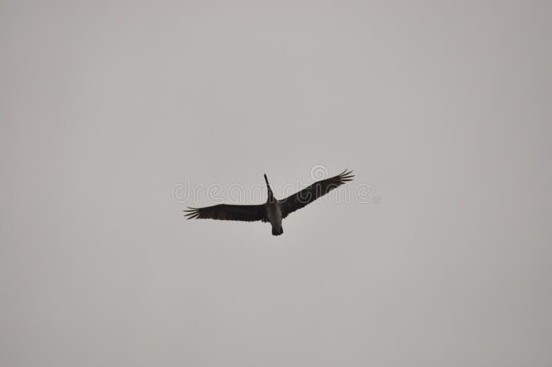 Bruine Pelikaan Een vogel met een grote bek die over de oceaan vliegen cara?bisch stock foto