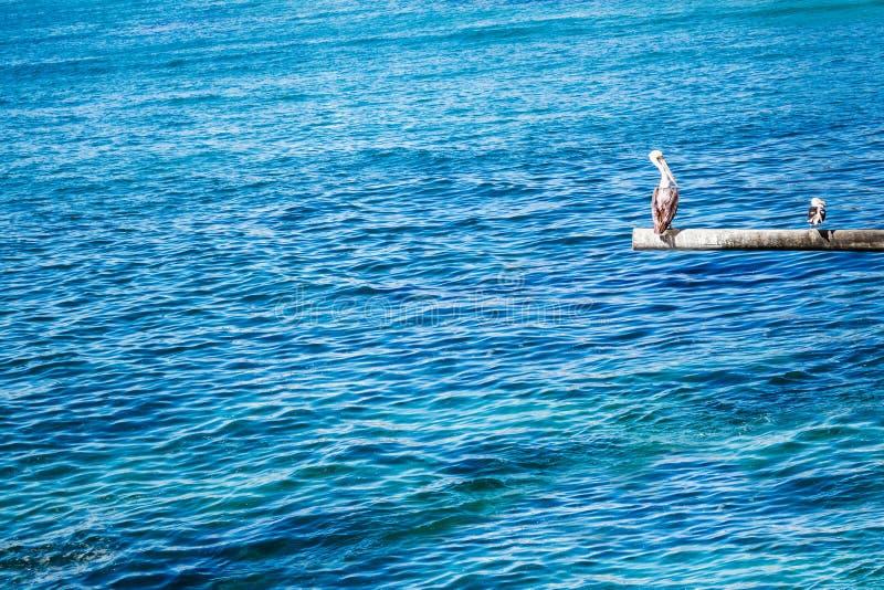 Bruine pelikaan en zeemeeuw op de pool stock foto's