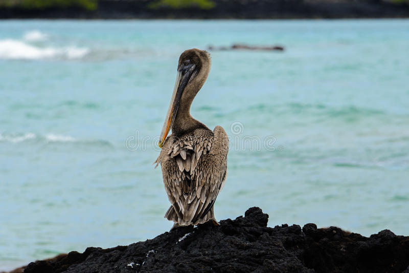 Bruine pelikaan, Isabela-eiland, Ecuador stock foto