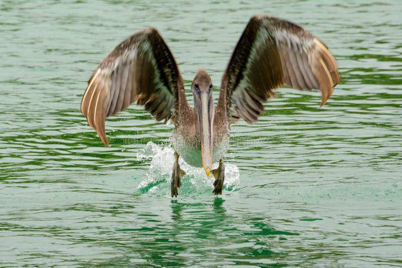 Bruine pelikaan, Isabela-eiland, Ecuador stock fotografie