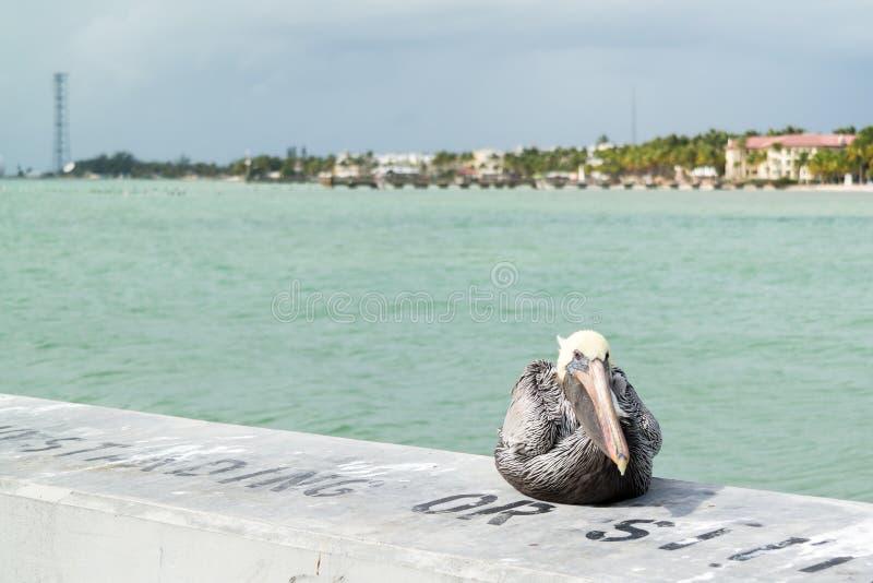Bruine pelikaan in Key West, de Sleutels van Florida stock foto's