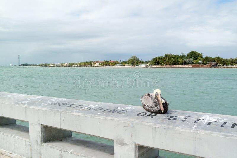 Bruine pelikaan in Key West, de Sleutels van Florida royalty-vrije stock foto