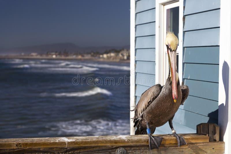 Bruine Pelikaan met voet volgende markering op Oceanside-het Pijlernoorden van San Diego California stock afbeelding